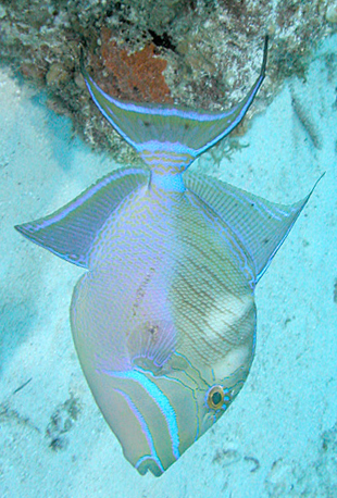 Queen Triggerfish (Image via Wikipedia)